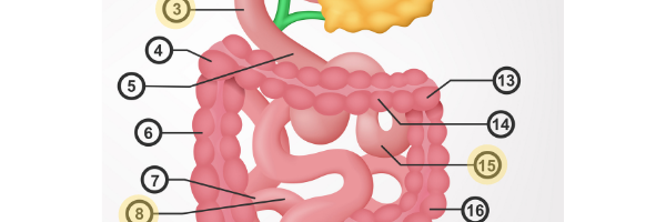 Bloating - How to Find the Right Solutions - the small intestine